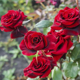 Rosa 'Deep Secret' Hybrid Tea Rose Bush, Double Deep Crimson Flowers