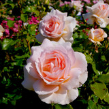 Rosa 'Chandos Beauty' Hybrid Tea Rose Bush, Excellent Fragrant Flowers