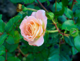 Rosa 'Chandos Beauty' Hybrid Tea Rose, Excellent Fragrant Flowers