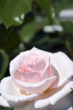 Rosa 'Titanic' Hybrid Tea Rose Bush, Stunning Light Pink Blooms
