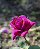 Rosa 'Big Purple' Sweetly Scented Hybrid Tea Rose Bush, Excellent Flowers
