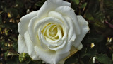Rosa 'Pascali' Hybrid Tea Rose Bush, Creamy White Flowers & Light Fragrance
