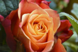 Rosa 'Remember Me' Hybrid Tea Rose Bush, Double Bright Coppery Orange Flowers