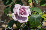 Rosa 'Twice In A Blue Moon' Hybrid Tea Rose Bush, Large Pale Lilac Flowers