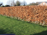 30 Green Beech Hedging Plants 2-3 ft Fagus Sylvatica Trees,Brown Winter Leaves