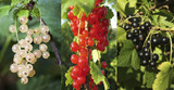 3 Mixed Currant Bushes - White, Red & Blackcurrant Plants in 9cm Pots
