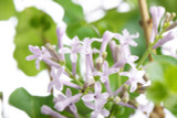 Syringa 'Miss Kim' Lilac Tree, 30-40cm Tall In 2L Pot, Stunning Flowering Shrub