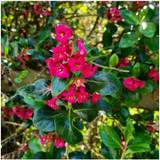 50 x Escallonia Rubra Macrantha in 9cm pots Hedging Plants Evergreen