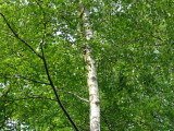 10 Silver Birch 6ft+ Stunning  Mature Specimen Trees, Betula Pendula
