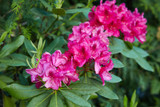 Rhododendron 'Anah Kruschke' 20-30cm Tall In 1.5L Pot, Stunning Flowers