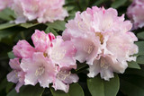 Rhododendron 'Dreamland' 20-30cm Tall In 1.5L Pot, Stunning Flowers