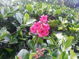 3 x Escallonia Rubra Macrantha  in 9cm pots Evergreen Hedging Plants