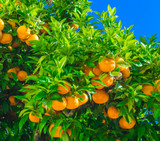 Stunning Citrus 'Manderin' / Mandarin Orange Tree, 1-2ft Tall In 5L Pot