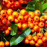 10 Pyracantha 'Orange Glow' Plants / Firethorn 'Orange Glow' 15-20cm Tall