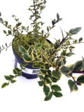 Myrtle Apiculata Glanleam Gold Tree / Myrtus Luma Shrub In a 2L Pot