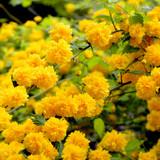 Kerria japonica 'Pleniflora' / Bachelor's Buttons Plant, 30-40cm  Tall In 3L Pot