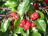 Crab Apple / Malus 'Rudolph' Tree 4-5ft Tall in 6L Pot, Make Your Own Jelly !