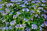 Hydrangea Macrophylla ' Mariesii Perfecta' 30-40cm Tall in 2L Pot