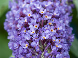 3 Buddleia davidii 'Nanho Blue' in 2L Pots Buddleja Butterfly Bush