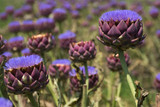 The Globe Artichoke Plant / Cynara Scolymus 'Purple of Romagna' in 1-2L Pot