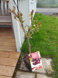 Dwarf Patio Lapins Cherry Tree, In a 5L Pot, Miniature & Self-Fertile