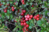 3 Cranberry Plants Early Black / Vaccinium macrocarpon, Dark Juicy Fruit High in Vitamin C