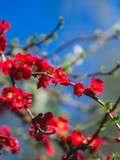 Chaenomeles × superba 'Red Trail' / Japanese Quince, 20-30cm Tall In 2L Pot