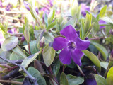 1 Vinca minor 'Atropurpurea' / Small Purple Periwinkle In 10cm Pot, Lovely Purple Flowers
