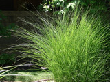 Miscanthus sinensis 'Gracillimus' / Chinese Silver Grass  in 2L Pot