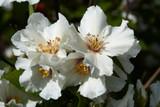 Philadelphus 'Belle Etoile' Plant / Mock orange 'Belle Etoile', 1-2ft Tall in 2L Pots