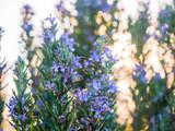 3 Rosemary / Rosmarinus officinalis 20-30cm in 2L Pots, Stunning Aromatic Plant