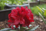 Rhododendron 'Lord Roberts' In 9cm Pot, Stunning Red Flowers, Evergreen Shrub