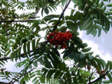 Mountain Ash (Rowan) Plant / Sorbus Aucuparia 1-2ft Tall Tree in 1L Pot, Hedge
