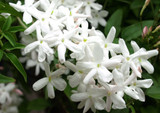 1 Jasmine/Jasmine Polyanthum in a 9cm Pot, Fragrant White Flowers