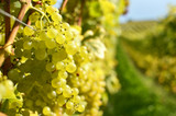 Vitis Bianca / Grape Bianca in 12cm Pot, The Best Variety For Wine and Table Wine