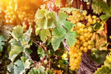 Vitis Muscat of Alexandria Grape in 2L Pot, Very Tasty, Favourite Wine of Cleopatra!