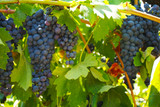 Vitis 'Boskoop Glory' Grape Suitable for Desserts and Wine, Easty to Grow