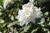 Rhododendron 'Cunningham's White' In 9cm Pot, Stunning White Flowers