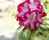 Rhododendron 'President Roosevelt' Plant In 9cm Pot, Stunning Red/White Flowers