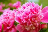 Paeonia lactiflora 'Sarah Bernhardt' Peony in 1L Pot, Stunning Pink Flowers
