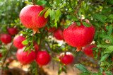 Punica Granatum Dente di Cavallo / Pomegranate in 2L Pot, Tasty Fruit