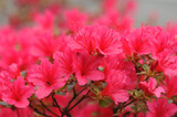 Azalea Hino Crimson 20-30cm Tall in 2L Pot,Small Bright Crimson Flowers