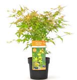 Japanese Maple 'Katsura' Tree, Acer Palmatum 'Katsura' 2ft Tall In 3L Pot