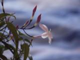 4 Jasmine / Jasminum Stephanense 20-30cm in 9cm Pots, Fragrant Pink Flowers