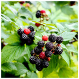 'Thornless' Blackberry Black Satin / Rubus Fruticosus / Thornfree Sweet & Juicy