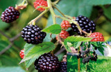 1 Thornless Blackberry 'Evergreen' / Rubus Fruticosus in 1L Pot, Big Juicy Berries, No Thorns