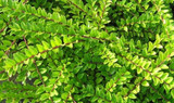 5 Lonicera Nitida  Hedging Box Honeysuckle Tree Plants, 20-40cm Tall