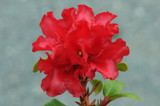 3 Rhododendron 'Scarlet Wonder' in 9cm Pots, Stunning Red Flowers