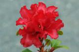 3 Rhododendron 'Scarlet Wonder' in 9cm Pots, Stunning Red Flowers