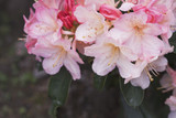 3 Rhododendron Percy Wiseman  in 9cm Pots, Pink-Flushed, Cream Flowers